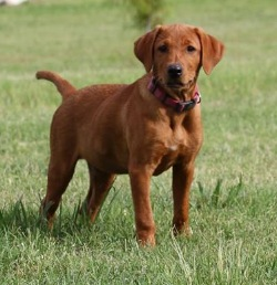 Fox Red Labrador - M & A KENNELS